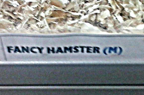 FANCY HAMPSTER